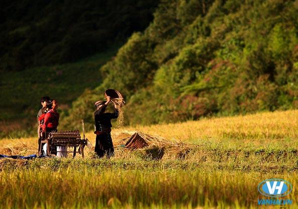 Sự hòa quyện của lúa mênh mang và trời mây dịu dàng