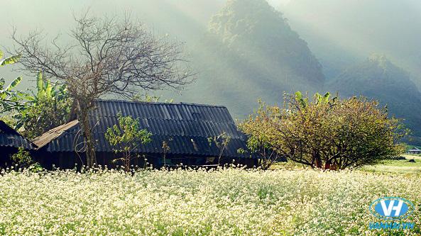 Hoa cải tô điểm cho đất trời Mộc Châu thêm rực rỡ