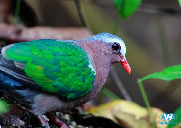 Đặc sản chim Cù Kỳ của biển Thiên Cầm