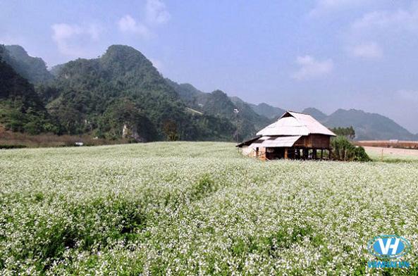 Những cánh đồng cải trắng mênh mông