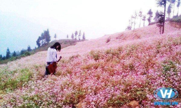 Cả Hà Giang tràn ngập trong sắc hoa tam giác mạch