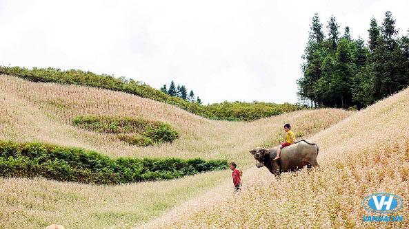 Du lịch Hà Giang tháng 11 là mùa hoa tam giác mạch đẹp nhất