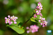 Kinh nghiệm du lịch hà giang tháng 11 mùa hoa tam giác mạch 2019