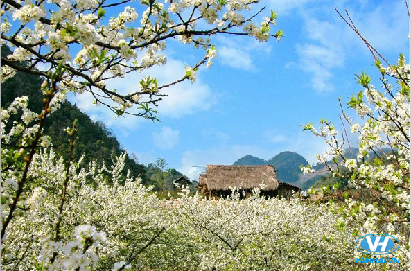 Hoa mận nở trắng rừng Mộc Châu