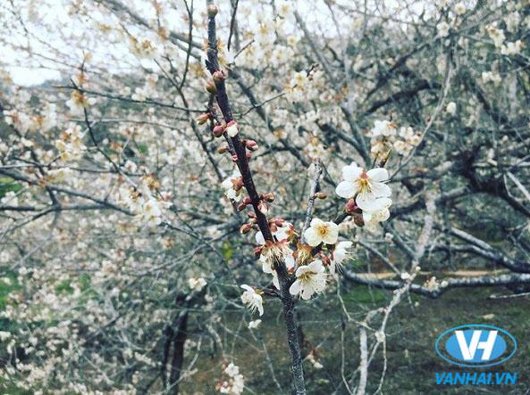 Hoa mận nở trắng cả làng bản