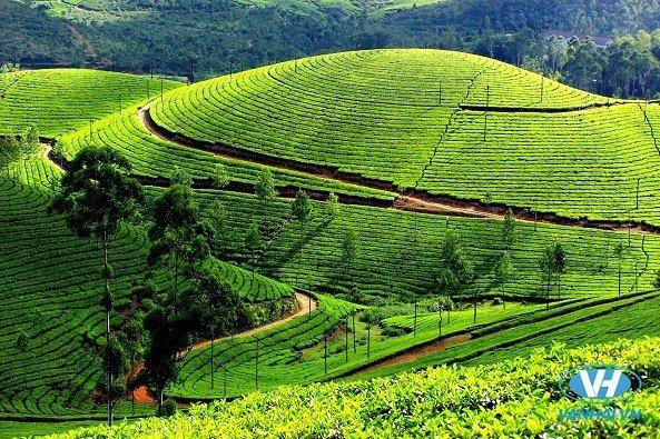 Những đồi chè xanh mởn mởn trải dài khắp quả đồi