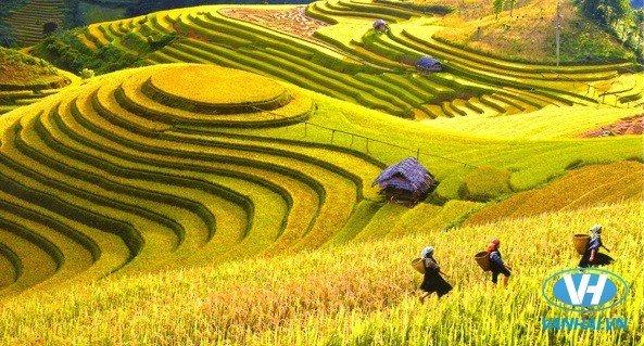 Những cánh đồng ruộng bậc thang óng ả
