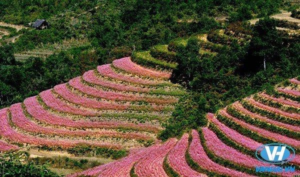 Tháng 11 đi Hà Giang ngắm cánh đồng hoa tam giác mạch dịu dàng