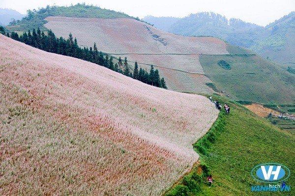 Cao Bằng cũng có những cánh đồng tam giác mạch tuyệt đẹp